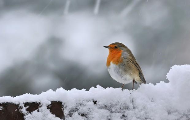 European Robin (Erithacus rubecula) in the snow in winter