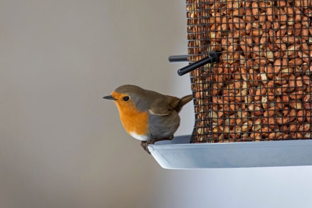 European robin (Erithacus rubecula) on garden bird feeder filled with peanuts in winter