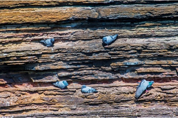 Rock doves / rock pigeons (Columba livia) nesting on ledges in cliff face along the Scottish coast