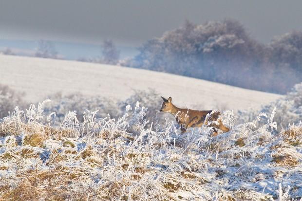 A roe deer at Woodhall Dean. © Steve Gardner