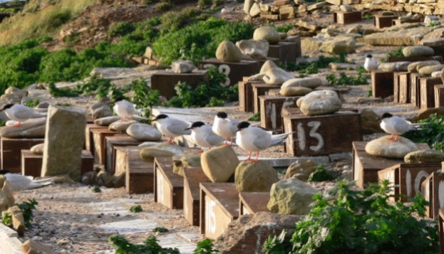 Roseate terns on Coquet Island. © RSPB