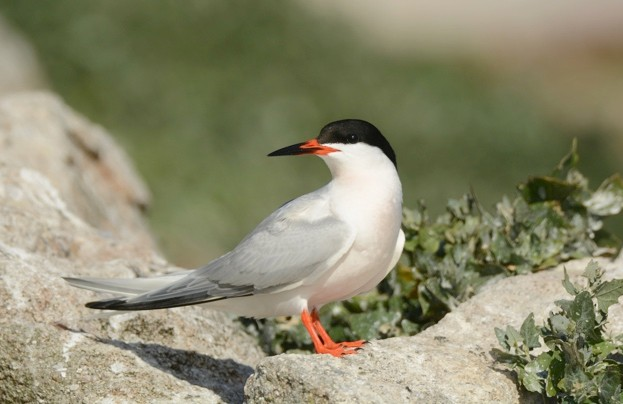 Roseate terns breed at Coquet Island in northeastern England © RSPB Images