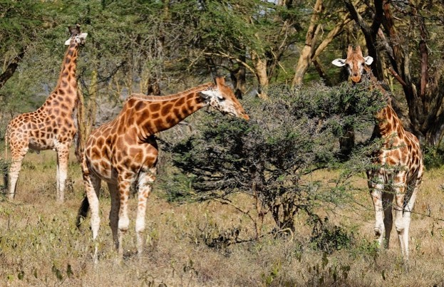 Predation is not an important driver of Rothschild's giraffe grouping. © Ian Forsyth/Getty