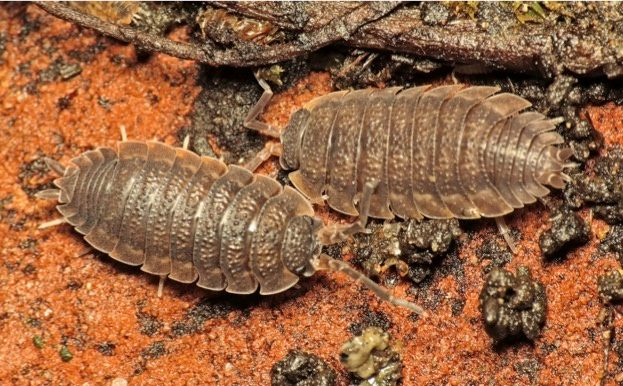 where do woodlice live