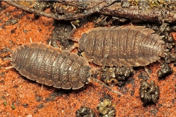 6 Common Rough Woodlouse Facts You Need To Know Discover Wildlife