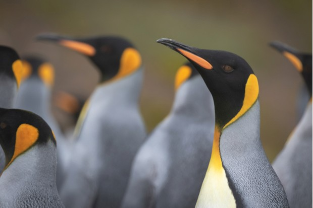 King penguin (Aptenodytes patagonicus) photographed whilst I  was working on the South Georgia Heritage Trust's Rat Eradication Project in South Georgia, Antarctica on March 05 2018. Photo: Oliver Prince.