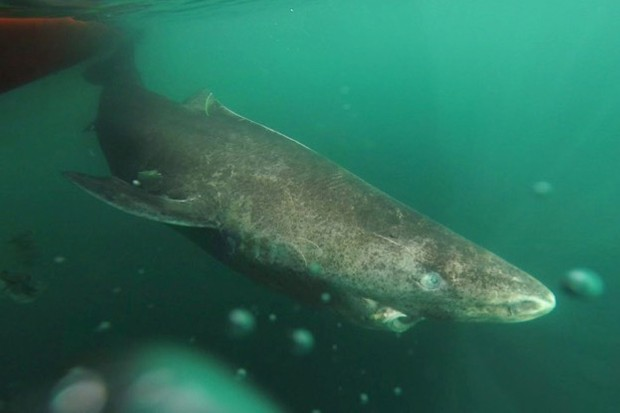 Greenland sharks can grow to 5m in length © Julius Nielsen