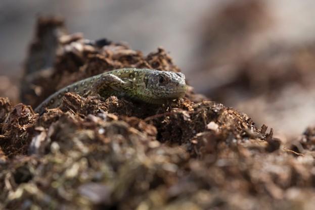 Sand-Lizards-1-_-623-dbdb1f3