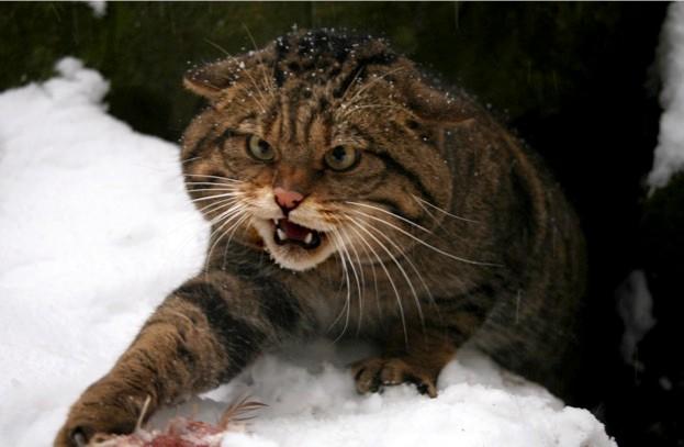 Scot-Wildcat-by-Neville-Buck_623-aa74758