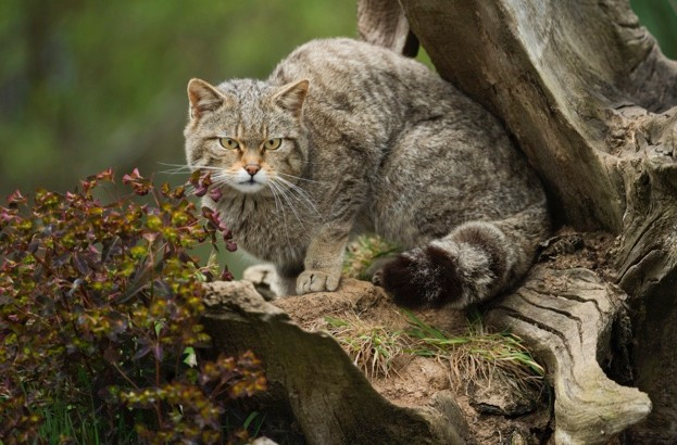 Scottish20wildcat_Getty_March202018_623-92f8fb5