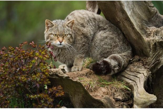 Scottish20wildcat_Getty_March202018_623-92f8fb5