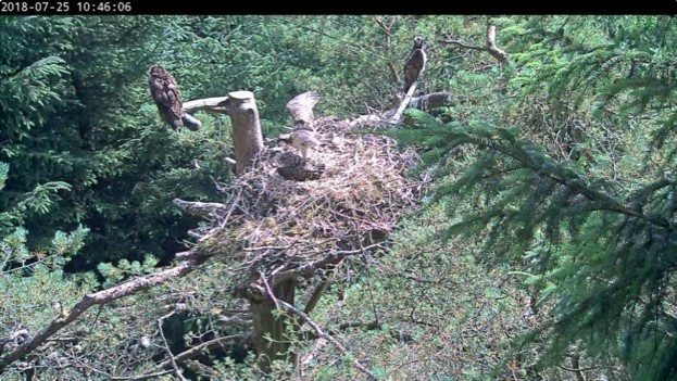 One of the chicks stretching its wings on the nest. © Tweed Valley Osprey Project