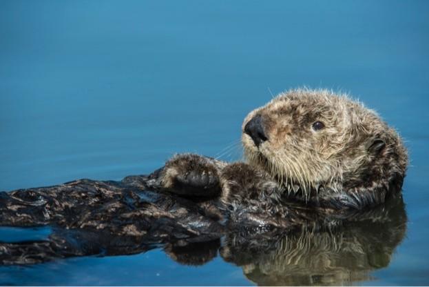 Sea-otter_Gomez-David_iStock_623-8f64d07