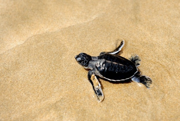Sea-turtle-hatchling_May2018_623-3ad8771