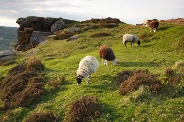 Sheep-grazing-at-Curbar-Edge-Derbyshire.-Peter-Thompson_Heritage-Images_Getty_623-ea45c4f