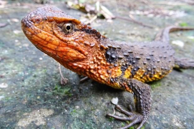 Shinisaurus-crocodilurus-vietnamensis_623-271ba05