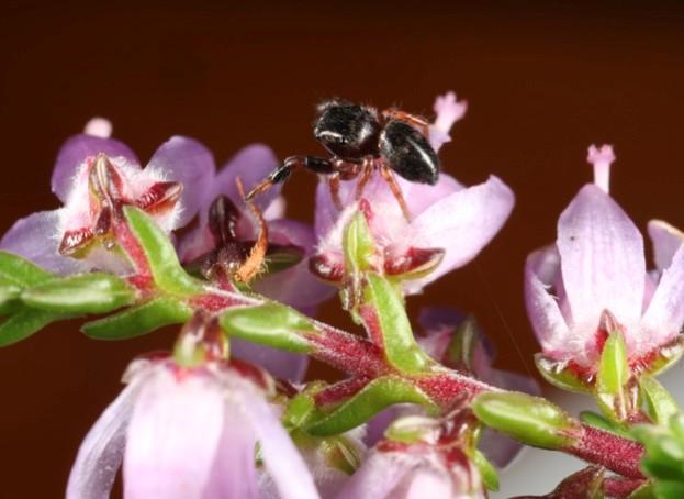 Sibianor-larae-jumping-spider-on-heather-c.-Richard-Gallon_623-6baa90e