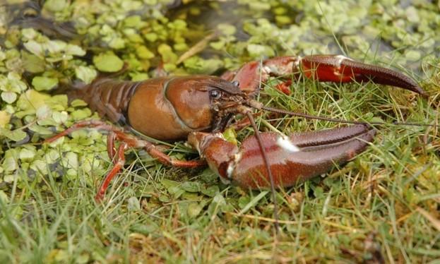 SignalCrayfish623-4008c16