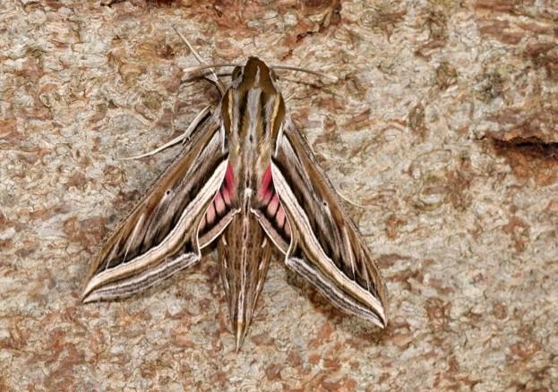 Silver-striped-Hawk-moth_Roger-Wasley_623-d0a985c
