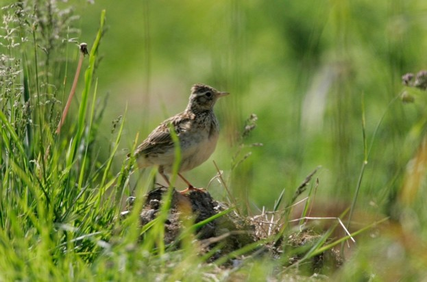 Skylark Alauda arvensis, at the grassy edge of a small field. Cornwall, England. June.