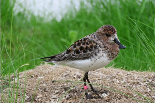 The spoon-billed sandpiper is classed as Critically Endangered on the IUCN Red List. © WWT