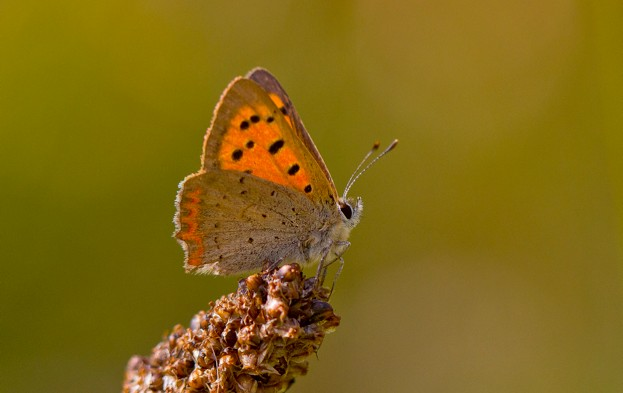 Small20Copper_Ivan20Lynas2C20Butterfly20Conservation_623-103d1f6