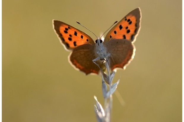 Small20Copper_Nick20Edge2C20Butterfly20Conservation-3203c77