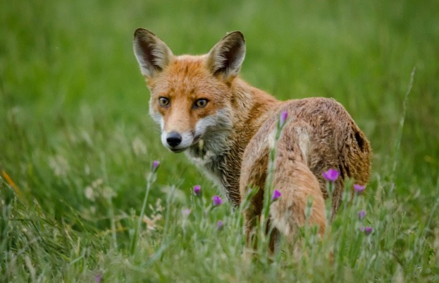 The number of unintended animals caught in snares set for foxes and other wild animals has prompted MPs to call for the traps to be banned. © Phil_Scarlett/iStock