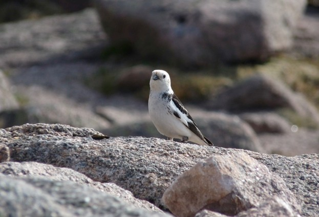 Snow-bunting_Mark-Eaton_623_0-9afa8ad