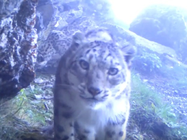 Snow-leopard-video-screenshot-by-WWF_623-fa94237