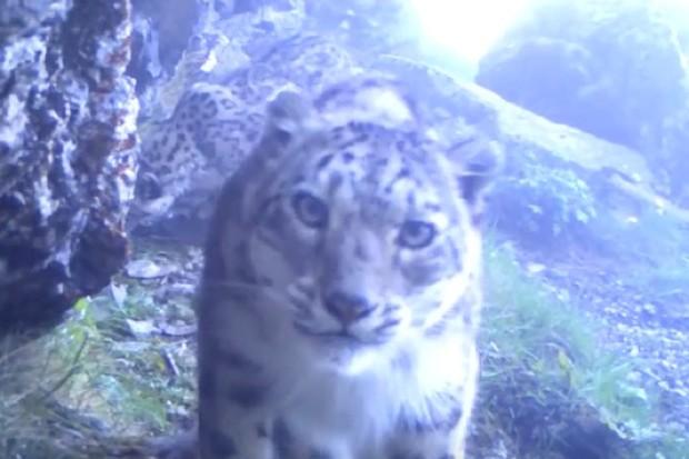 Snow-leopard-video-screenshot-by-WWF_623-fa94237