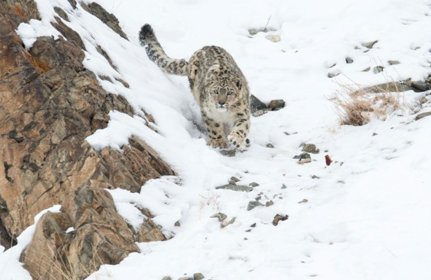 Snow leopard (Uncia uncia) walking down snow covered slope, Hemas National Park, Ladakh, India. Winner of the Long Lens catergory in the Melvita Nature Images Awards competition 2014.