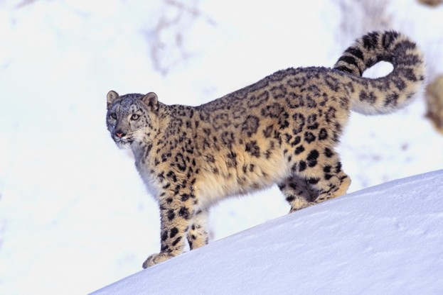 Snow20leopard2028Thomas20Kitchin203A20Victoria20Hurst203A20Getty29_623-dcacf70