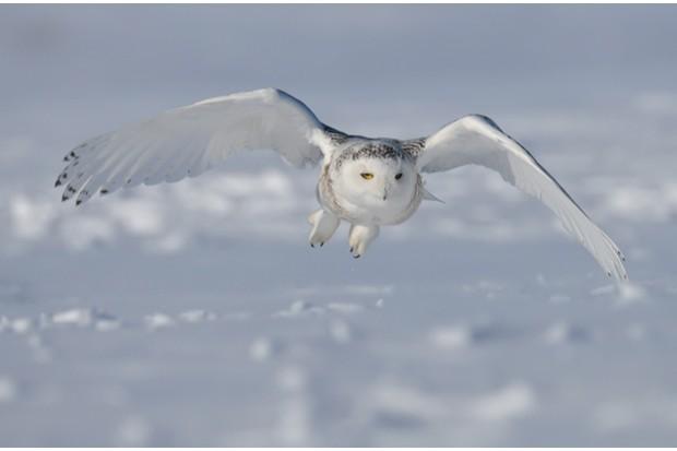 Snowy20Owl_Bubo20scandiacus_C2A920Francais20Cadien_623-54521f4