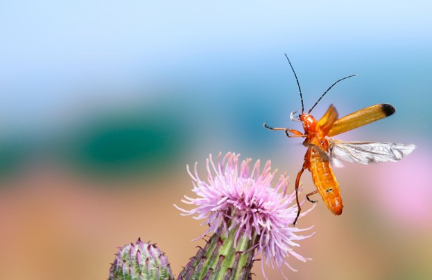 Black-tipped Soldier Beetle (Rhagonycha fulva) taking off from Creeping Thistle (Cirsium arvense),. [Surrey, England DC]