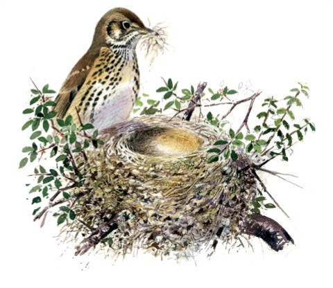 How to identify garden bird nests - Discover Wildlife