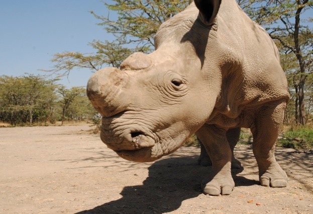 Sudan was the last male of the northern white rhino subspecies ©Sophie Harrison