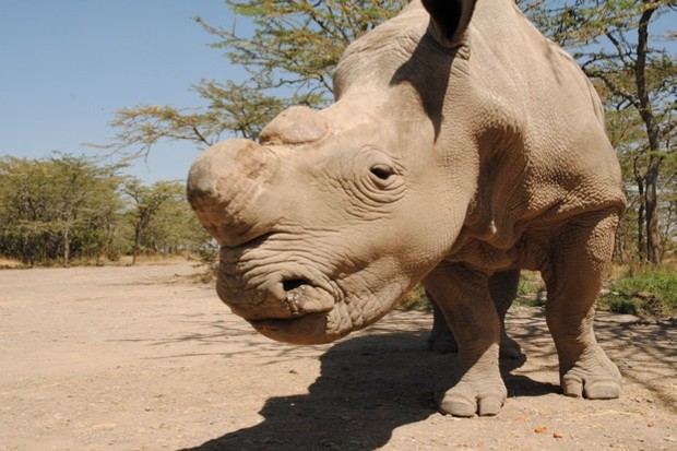 Sudan was the last male of the northern white rhino subspecies © Sophie Harrison