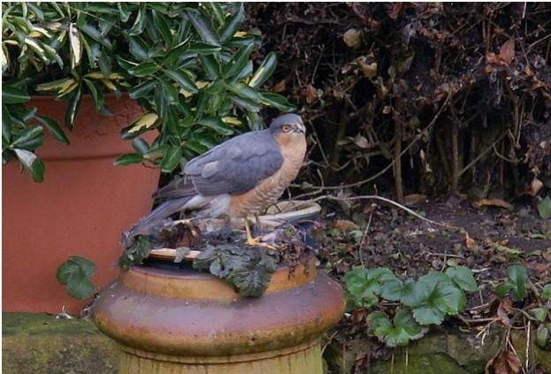 Sparrowhawk-by-Shaun-Donockley_623-4885f97