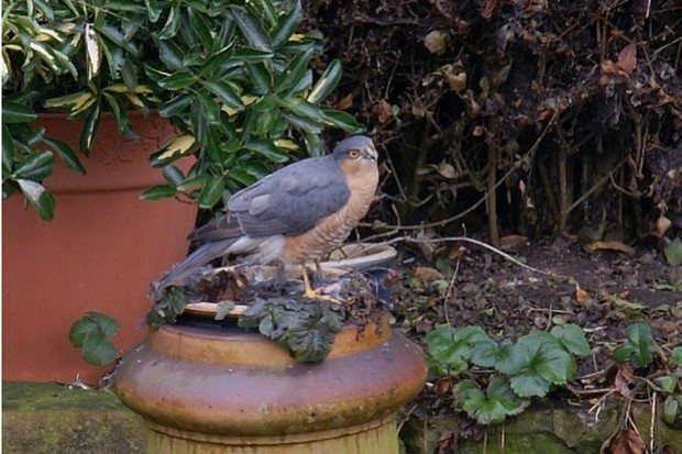 Sparrowhawk-by-Shaun-Donockley_623-4885f97
