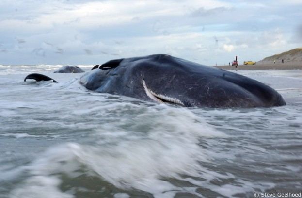 Sperm whale carcass washed up on isle of Texel, off coast of The Netherlands. © Steve Geelhoed