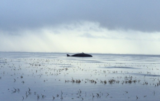 One of the stranded sperm whale. © Institute for Terrestrial and Aquatic Wildlife Research, University of Hannover