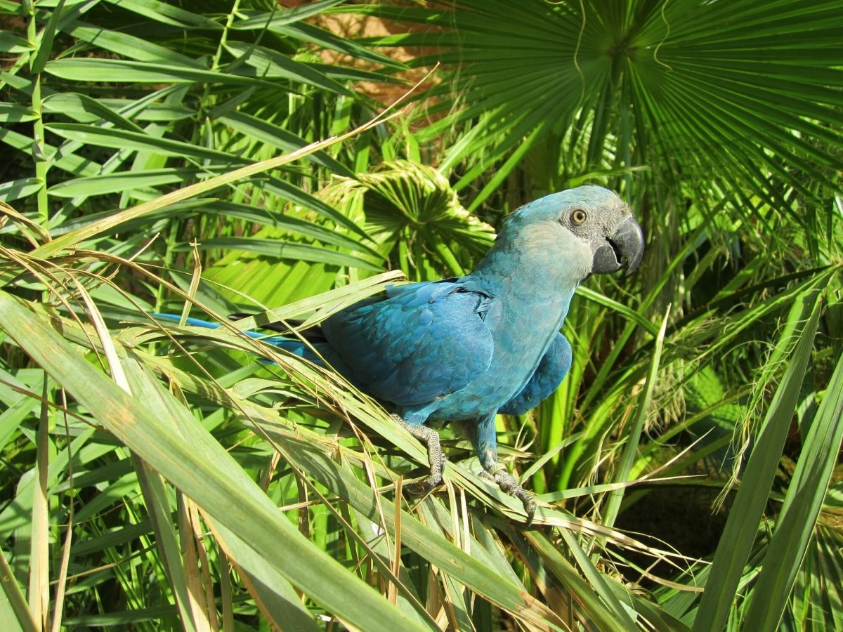 The Spix's macaw is now considered to be Extinct in the Wild. © Al Wabra Wildlife Preservation