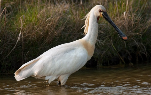 Eurasian Spoonbill / Common Spoonbill (Platalea leucorodia) foraging in shallow water, Texel, the Netherlands. (Photo by: Arterra/UIG via Getty Images)