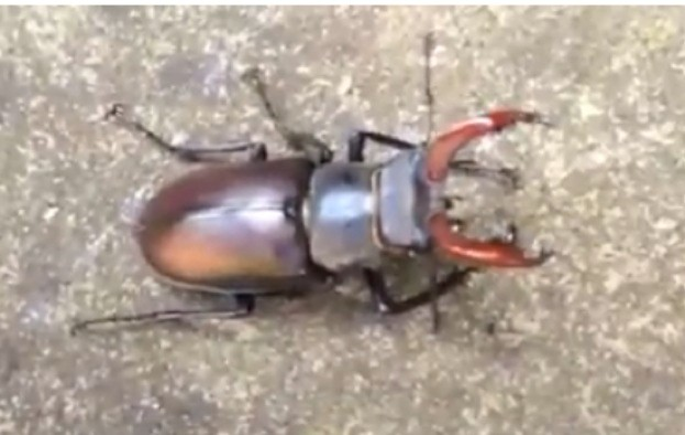 Stag-beetle_R-Jones_623-460664c
