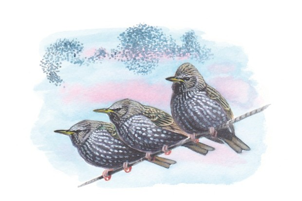 Starlings_MIke20Langman_623-1a36389