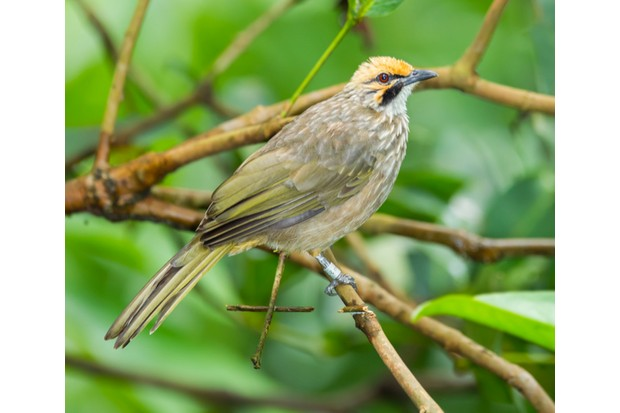 The straw-headed bulbul is listed as Endangered on the IUCN Red List © Kajornyot / Getty