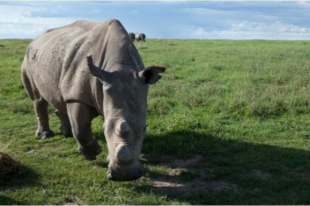 Sudan was one of the last three northern white rhinos left © Natalie Solveland