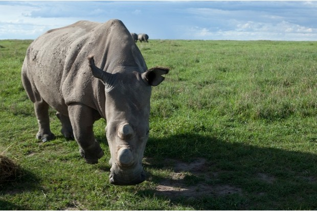 Last male northern white rhino dies - Discover Wildlife