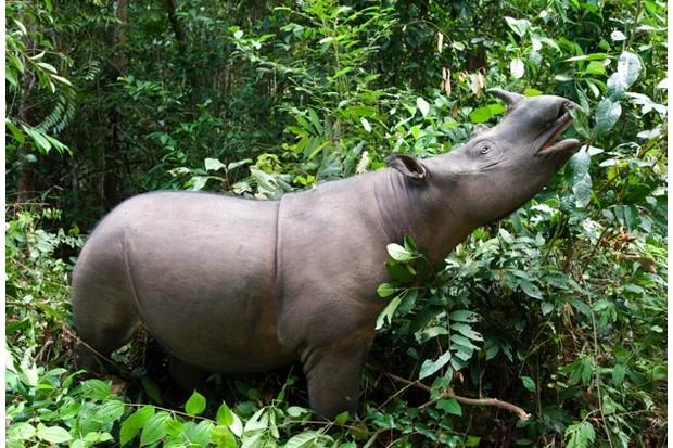 Browsing Way Kambas National Park, Lampung Province, southern Sumatra, Indonesia Critically endangered - fewer than 200 left Captive - Sumatran Rhino Sanctuary within the park